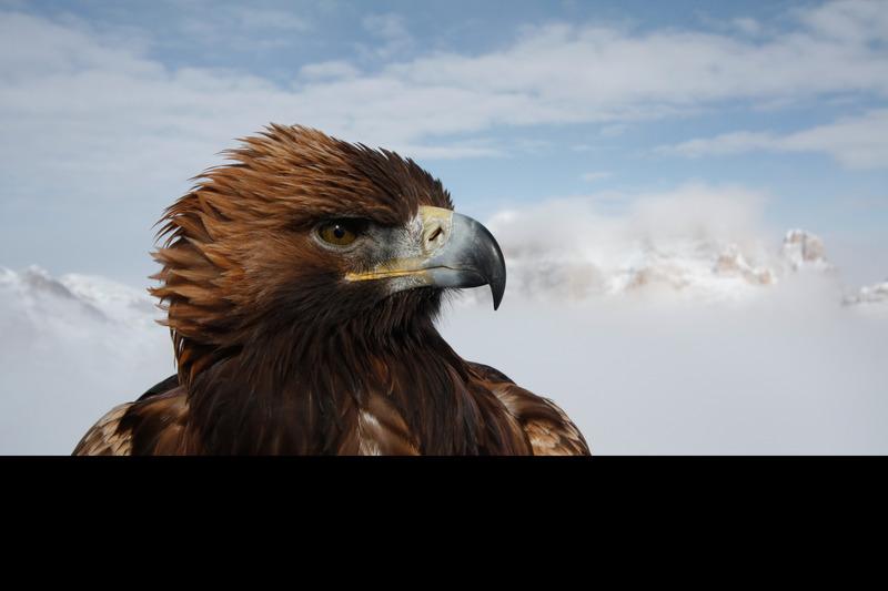 Bear Grylls La legge del più forte - Aquila Reale