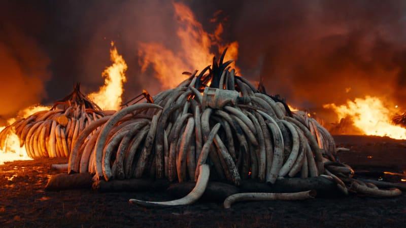 Antropocene - rogo avorio degli elefanti africani